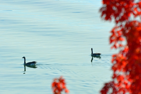 Pair of Geese in Autumn