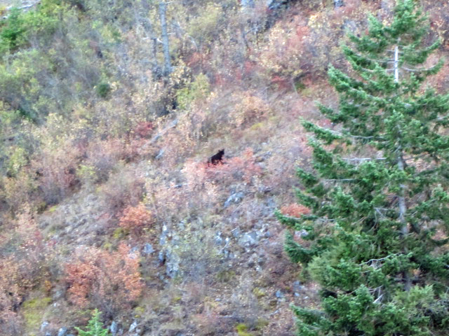 Bear on the Monarch mountains