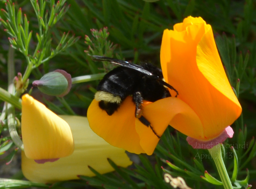 Bumble bee and California Poppy