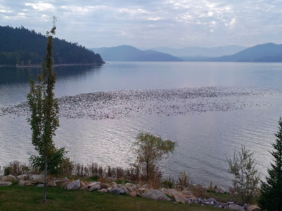 Coots on Lake Pend Oreille