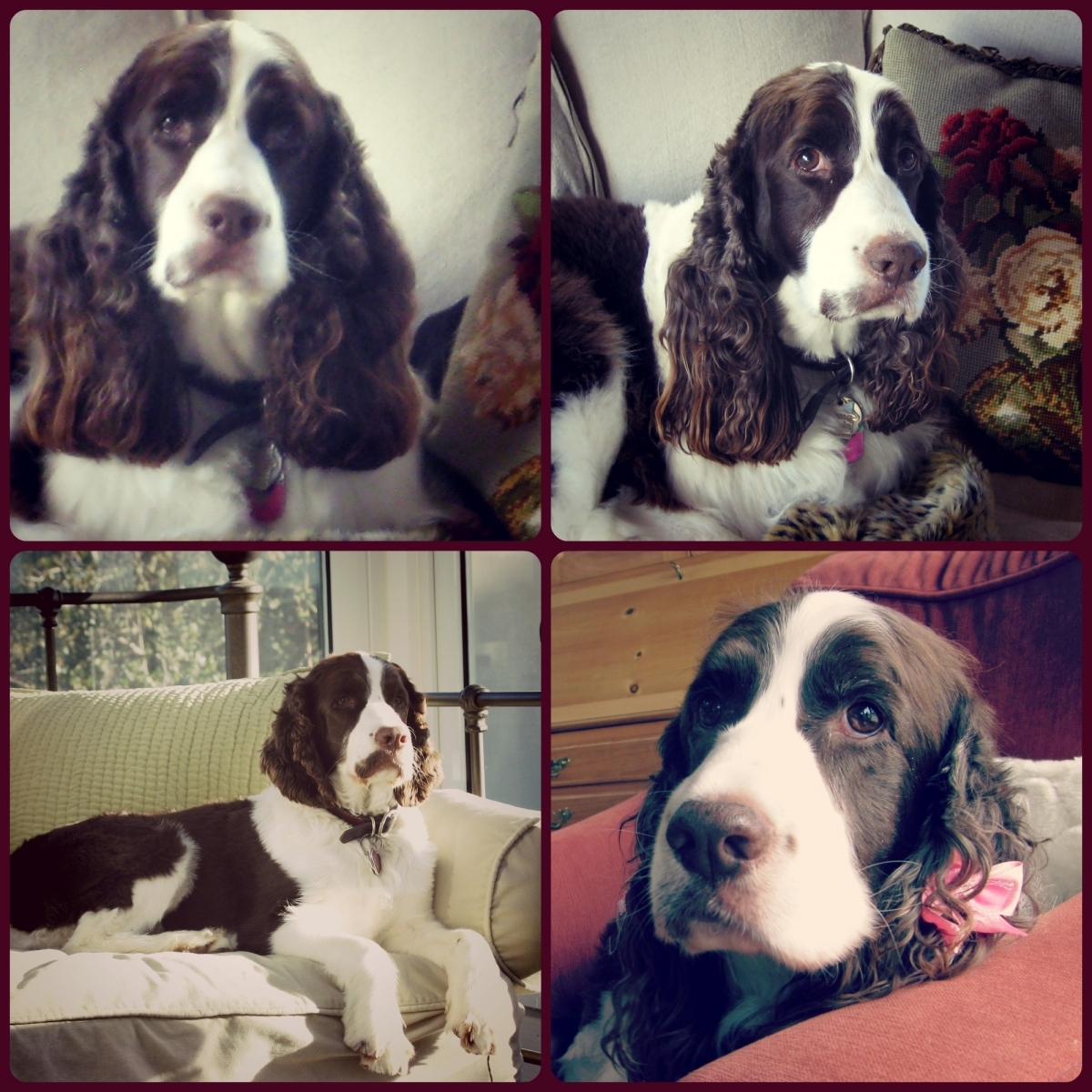 Collage of my Daisy, Springer Spaniel