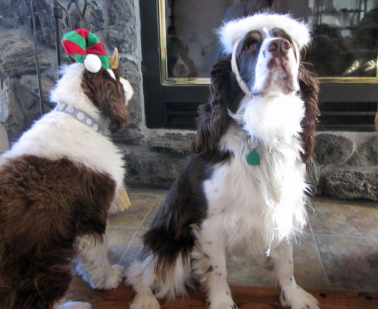 English Springer Spaniels Christmas photo
