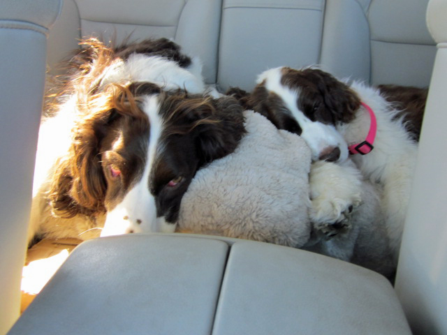 Dogs sleeping on car ride