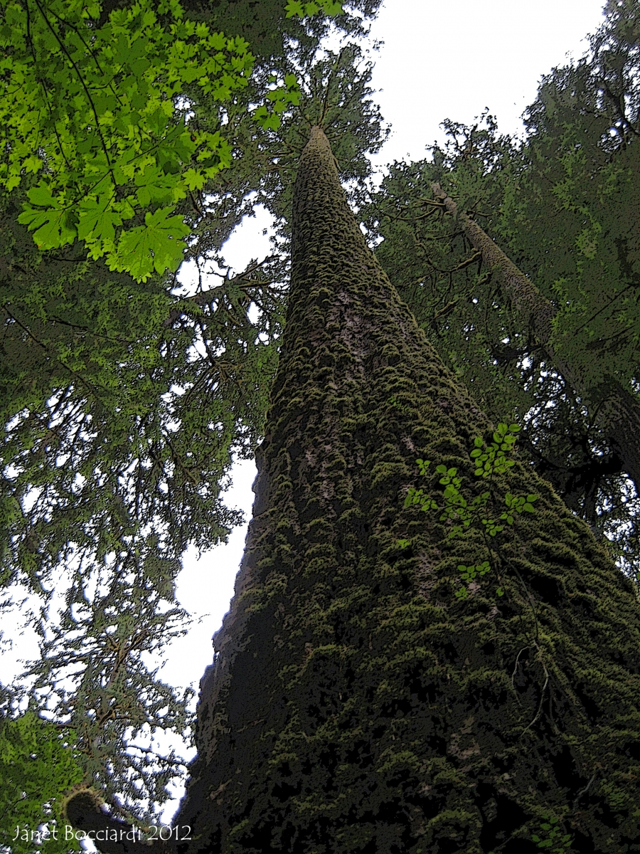 Douglas Firs, Olympic National Park, Washington