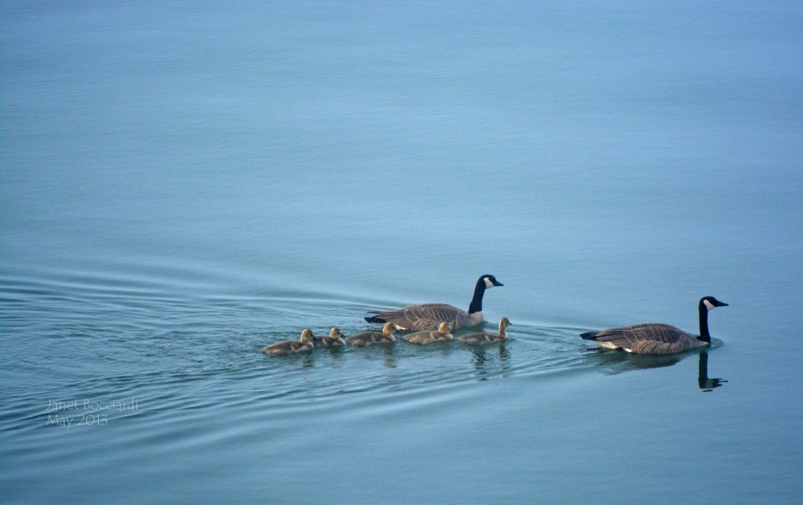 Family of Geese on lake