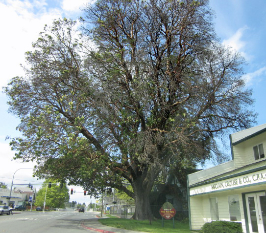 Largest Madrona in Washington state