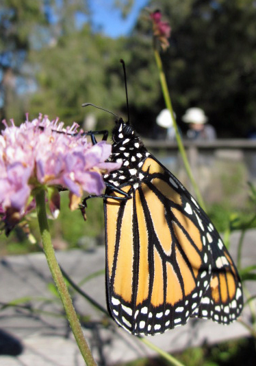 Monarch in macro photography, California