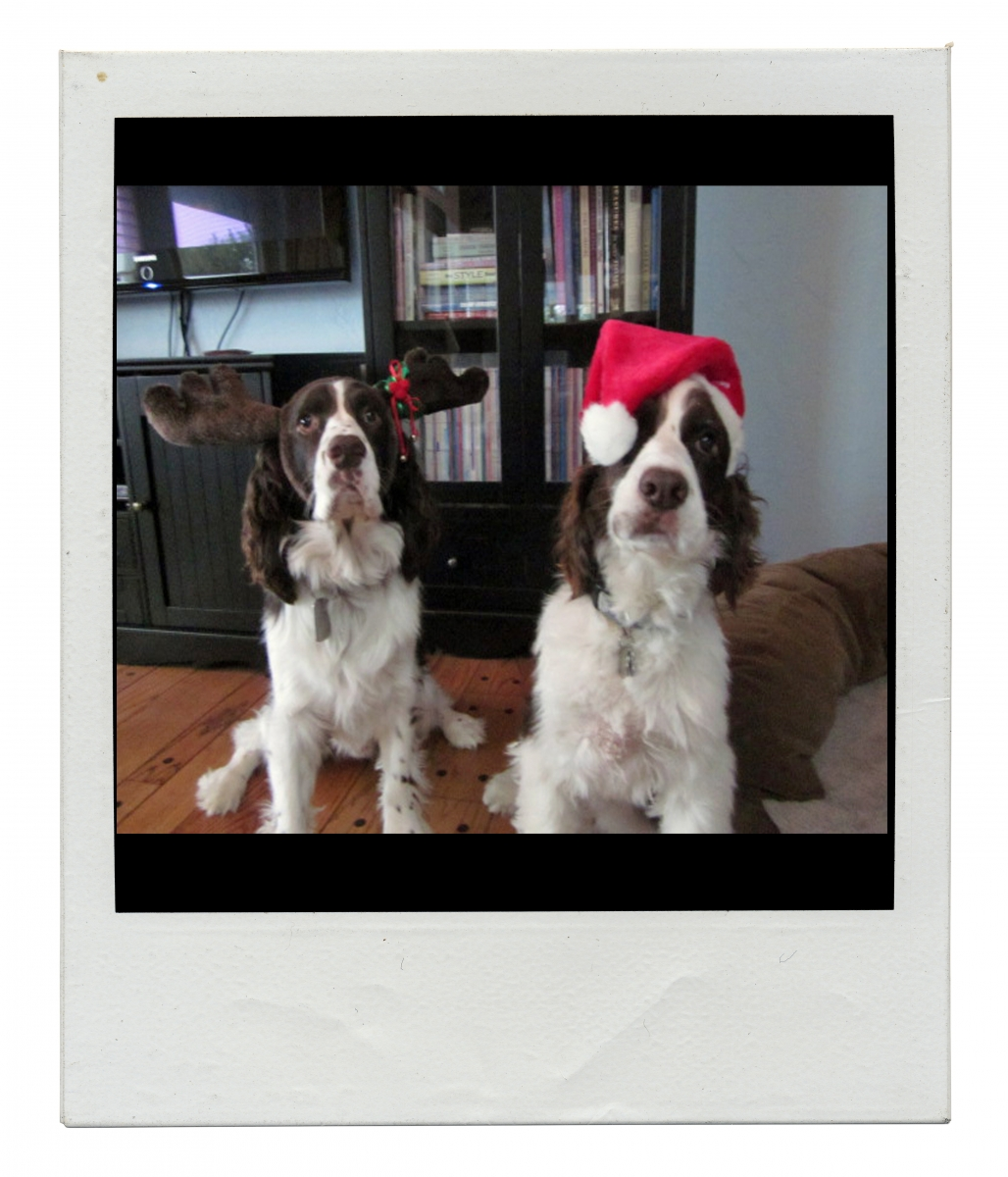 English Springer Spaniel Christmas card outtakes