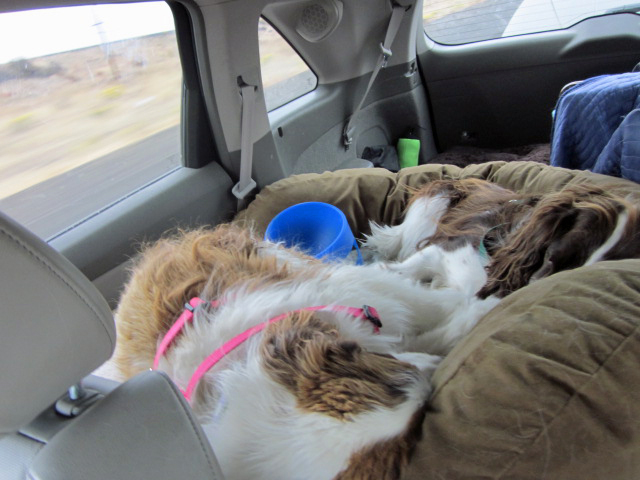 Dogs sleeping in back of car
