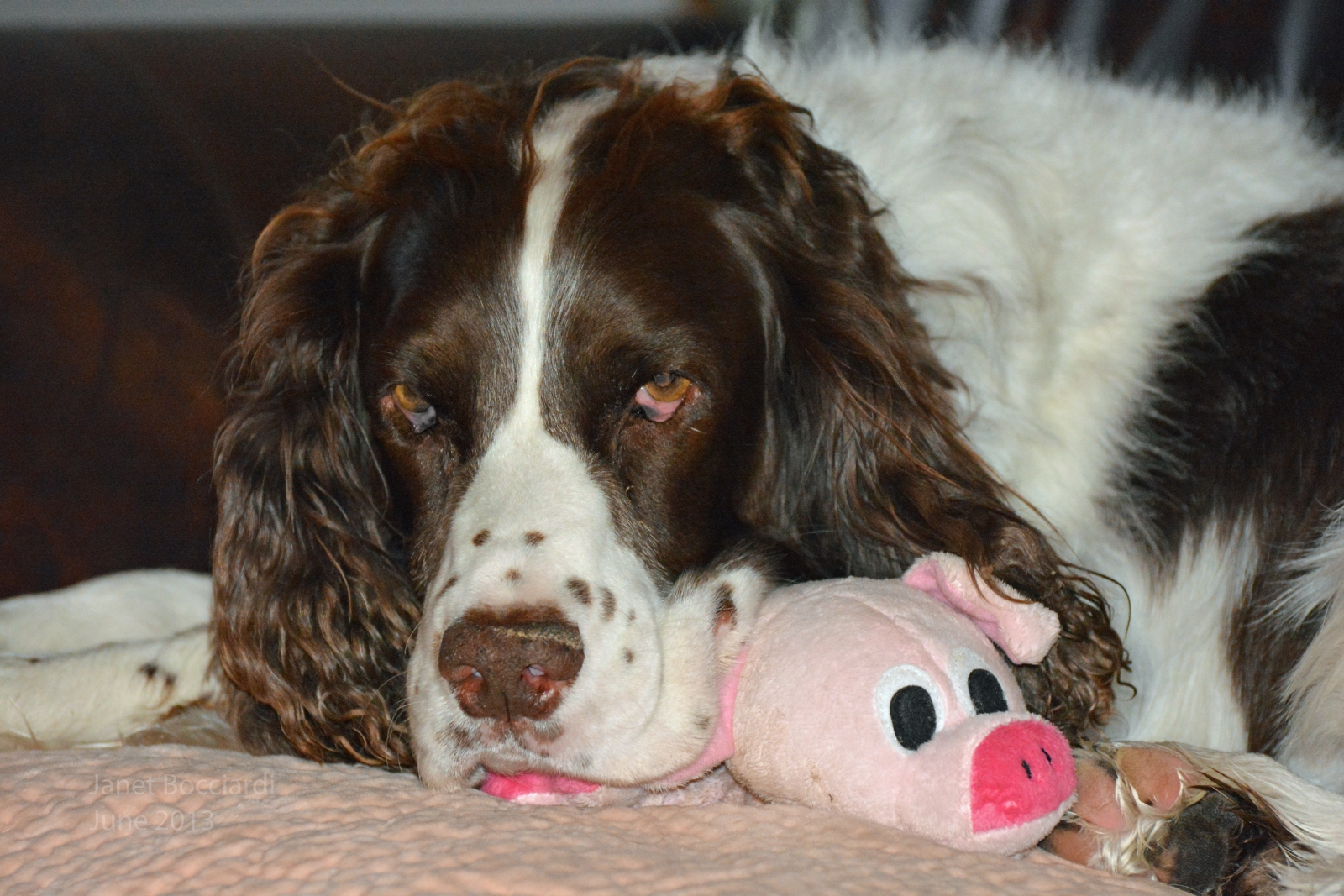 English Springer Spaniel with his piggie toy