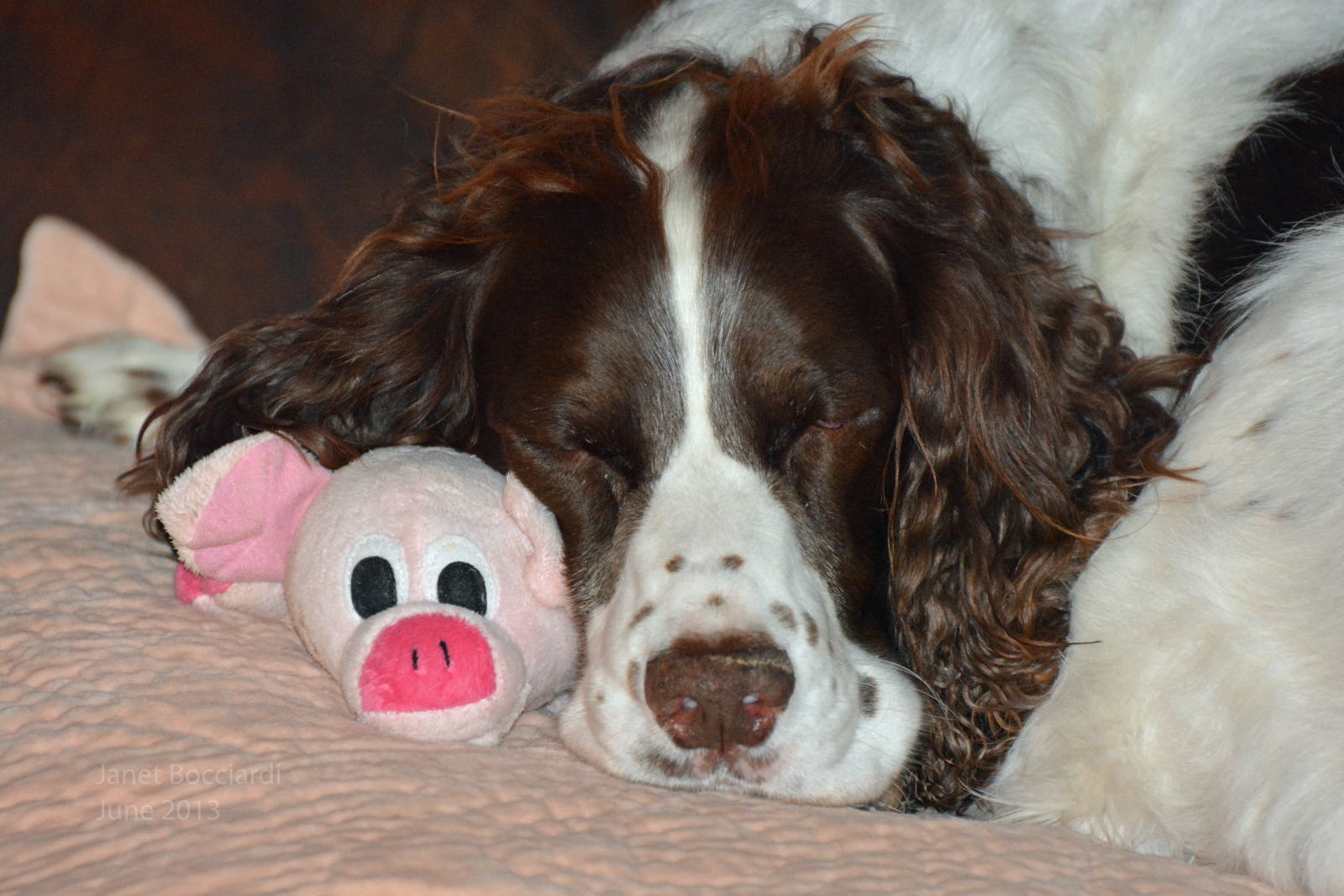 English Springer Spaniel with his piggie