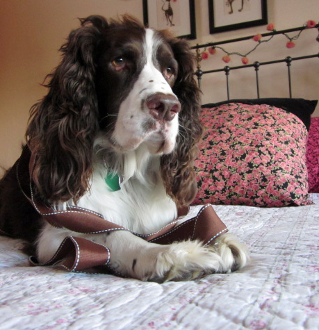 English Springer Spaniel with ribbon