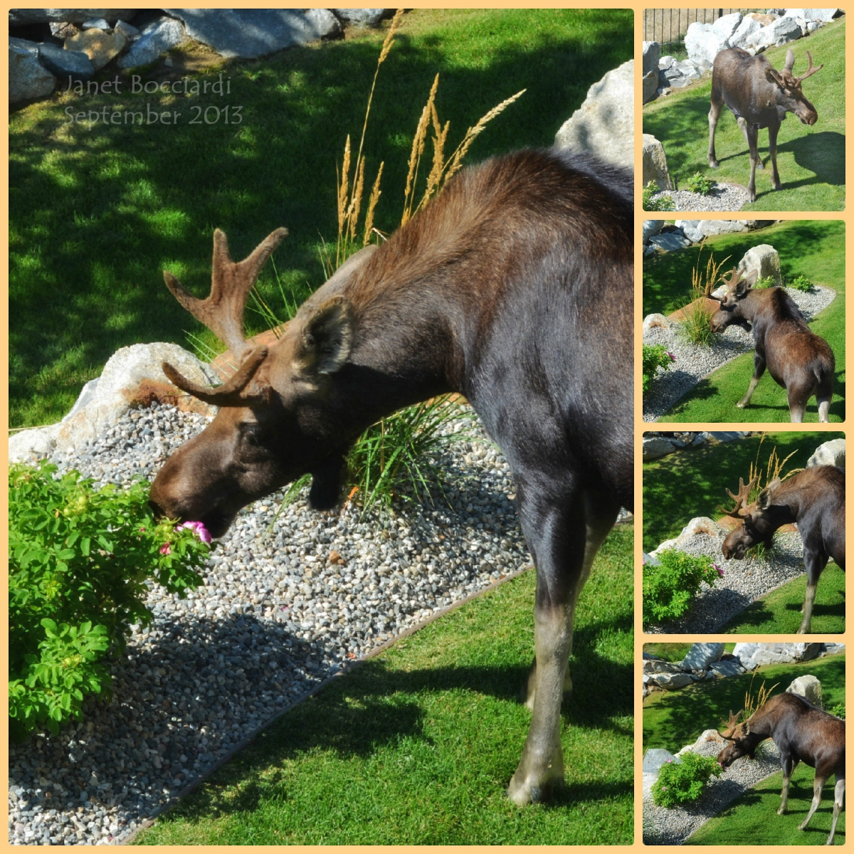 Moose in our garden
