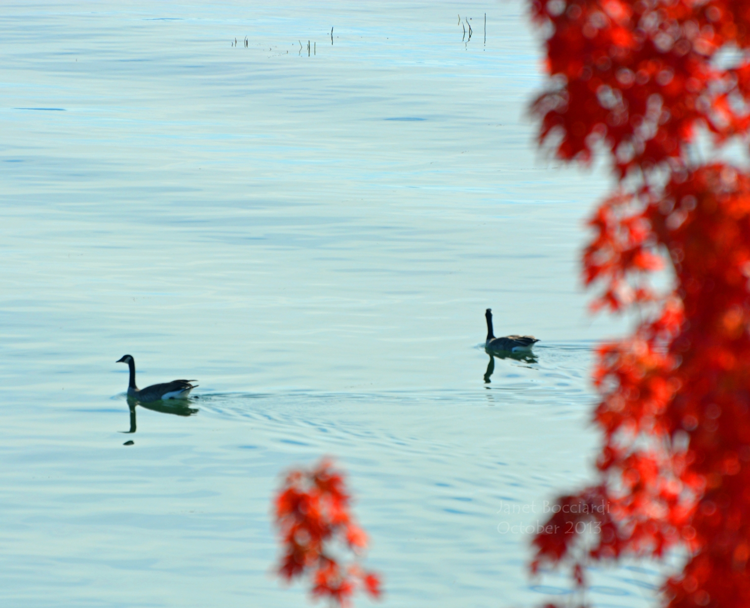 Geese on lake in Autumn.
