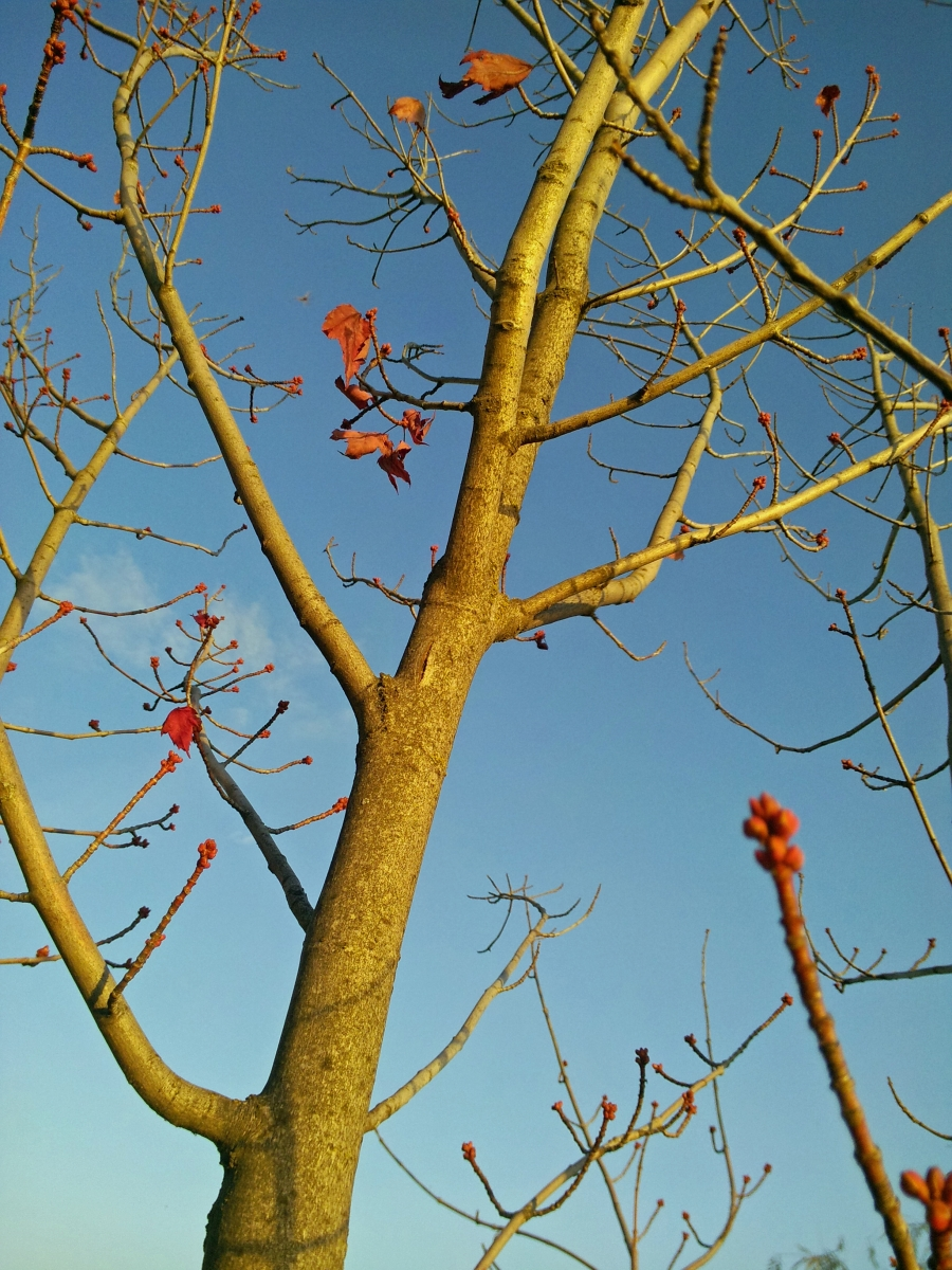 Red Maple budding