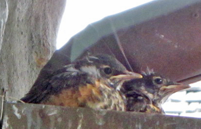 Robin fledglings in nest