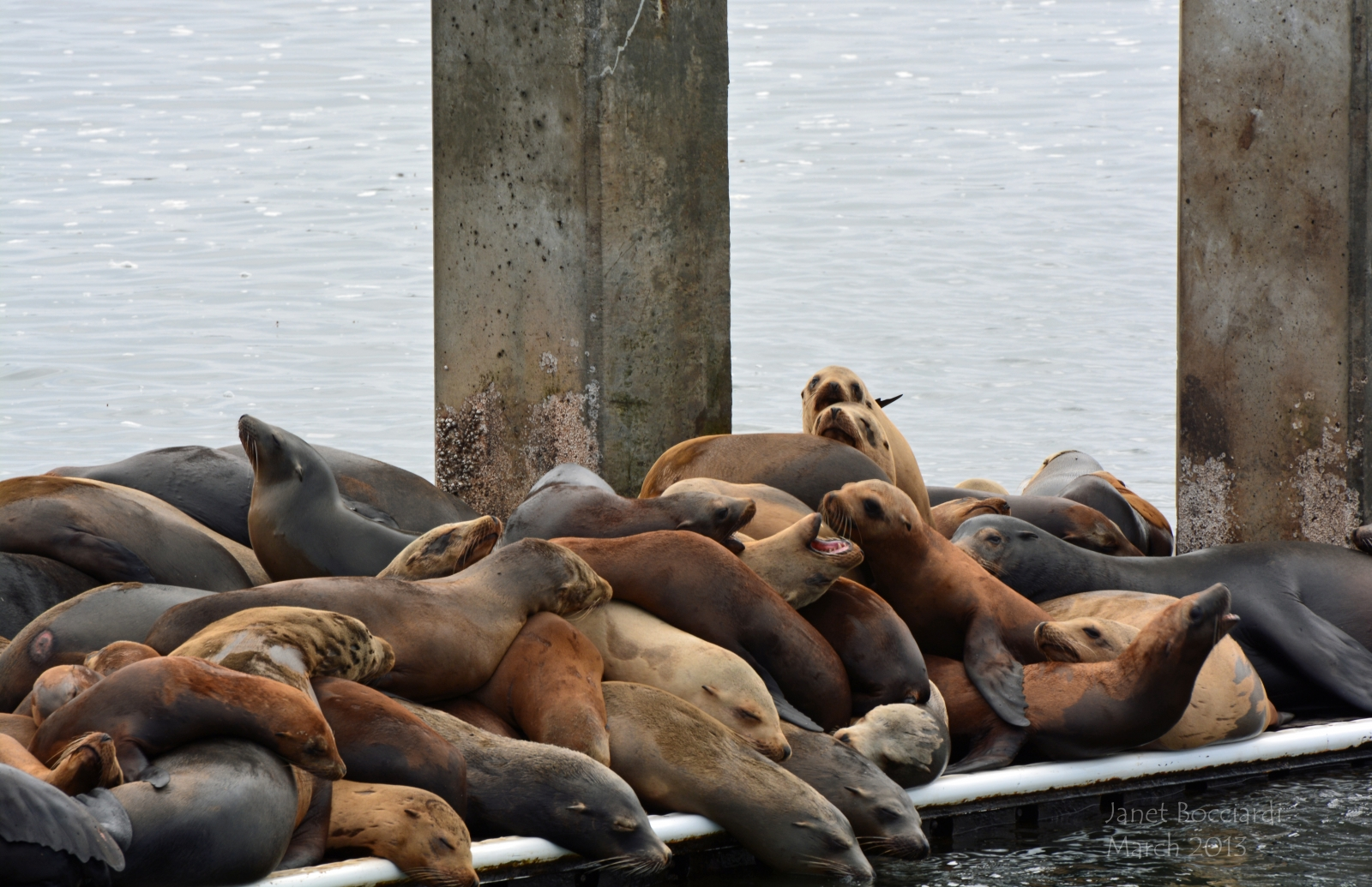 Sea Lions at Moss Landing.